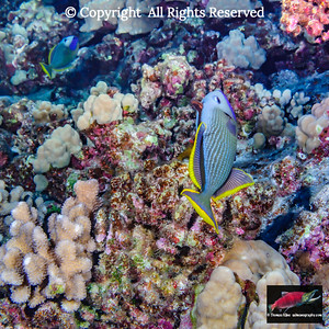 Two courting male Bluegill Triggerfish