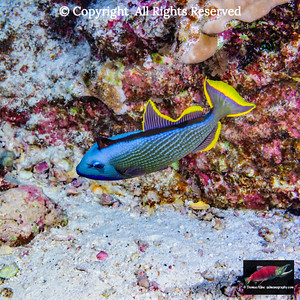 Courting male Bluegill Triggerfish