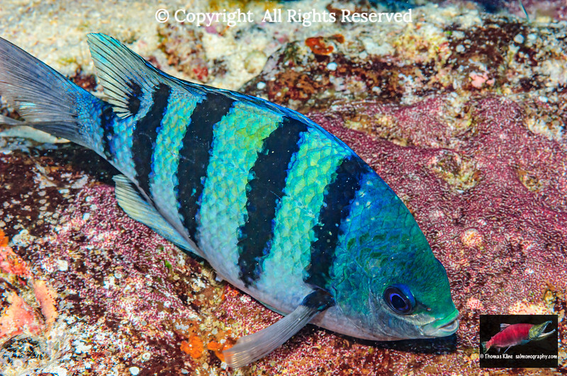 Breeding male Indo-Pacific Sergeant
