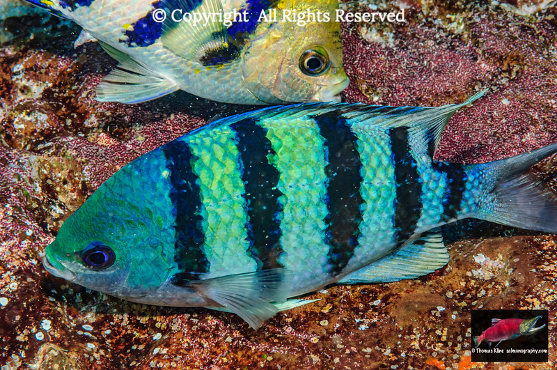 Indo-Pacific Sergeant breeding pair
