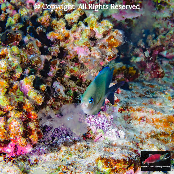 Blue-eye Damselfish (Plectroglyphiododon johnsonianus)