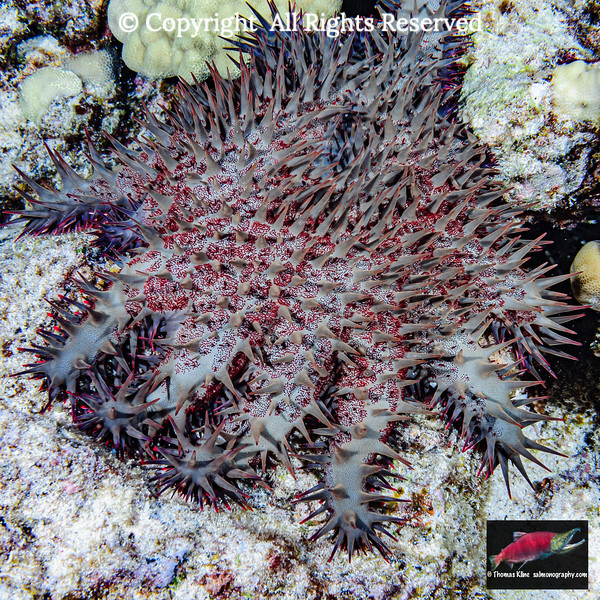 Crown-of-Thorns Starfish new arm