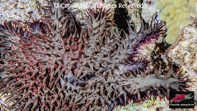 Crown-of-Thorns Starfish new arm