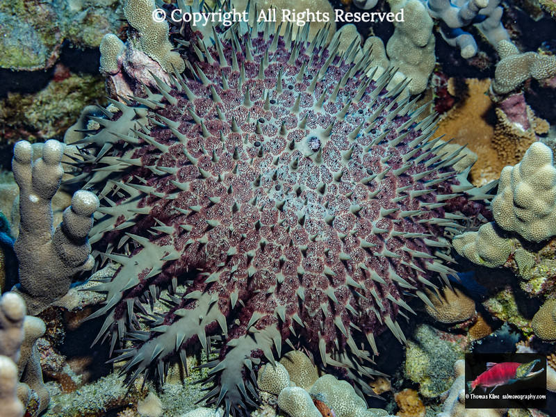 Crown-of-Thorns Starfish attacking its prey