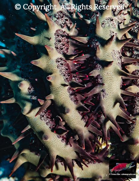 A close-up of Crown-of-Thorns Starfish arms