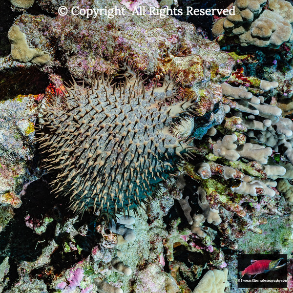 Crown-of-Thorns Starfish attacking a Porites