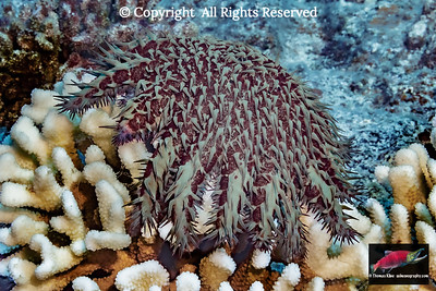 Double jepardy: coral bleaching and seastar predation