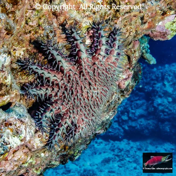 Crown-of-Thorns Starfish or Sea Star