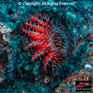 Resting Crown-of-Thorns Starfish