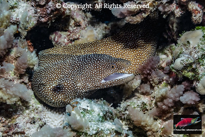 Whitemouth Moray Eel surounded by tufts of asparagus seaweed