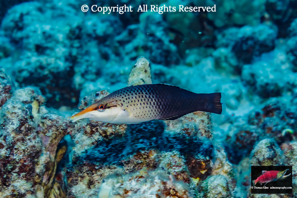 Female Bird Wrasse