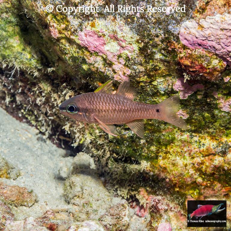 Iridescent Cardinalfish