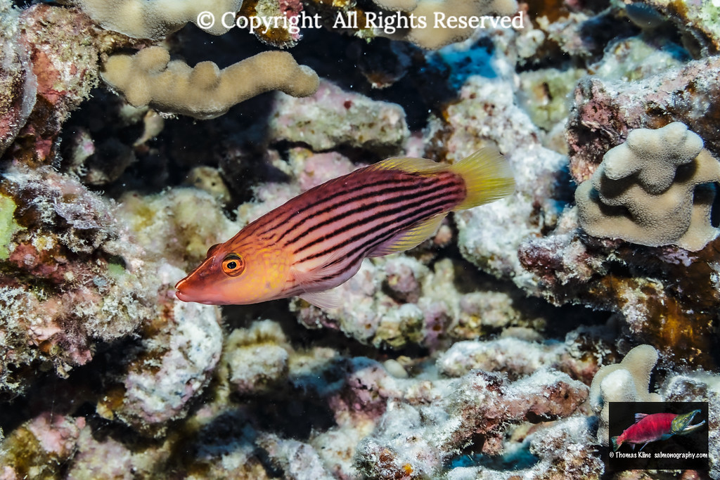 Eightlined Wrasse poised next to a lava-coral reef