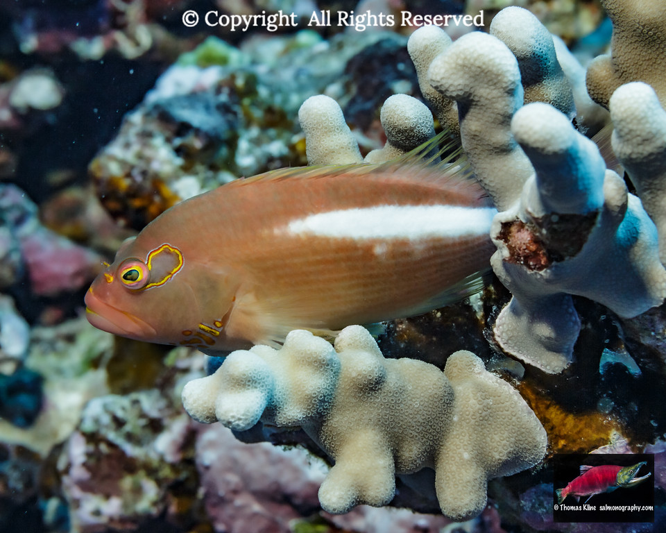 Light pattern Arc-eye Hawkfish resting on finger coral
