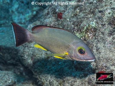 The Blacktail Snapper is a species not native to Hawaii