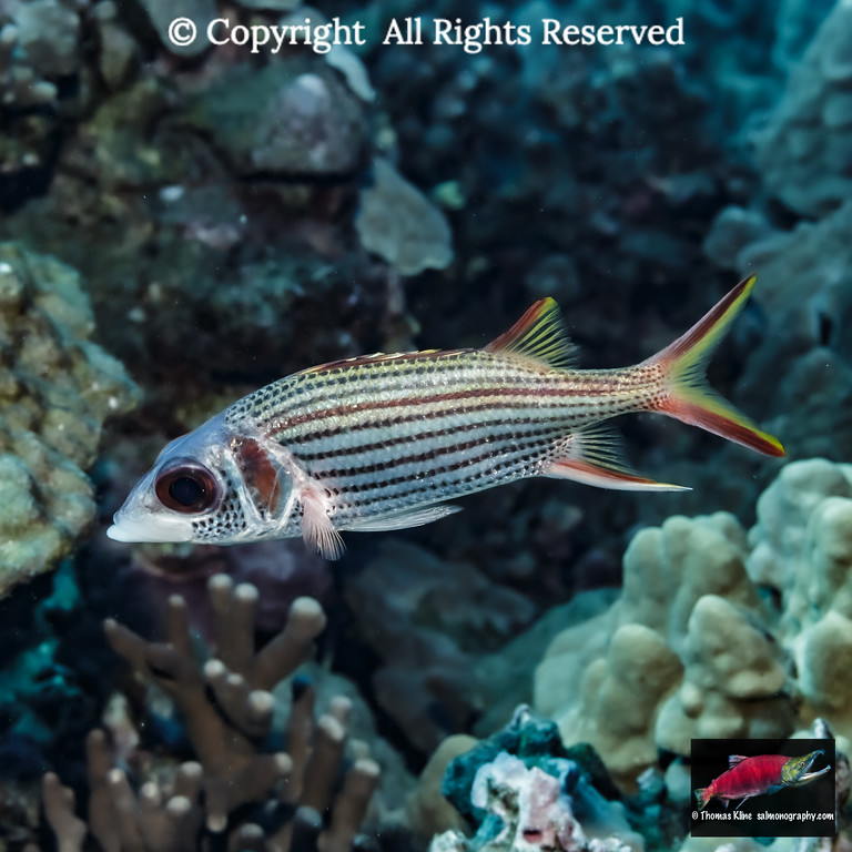 Spotfin Squirrelfish