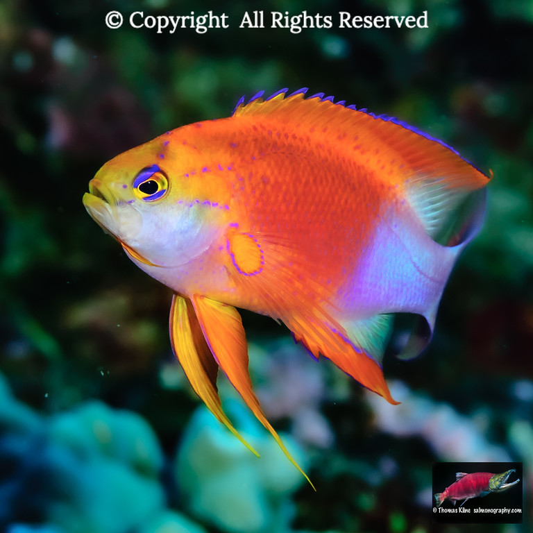 Male Longfin Anthias