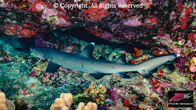 Mano lalakea, Whitetip Reef Shark