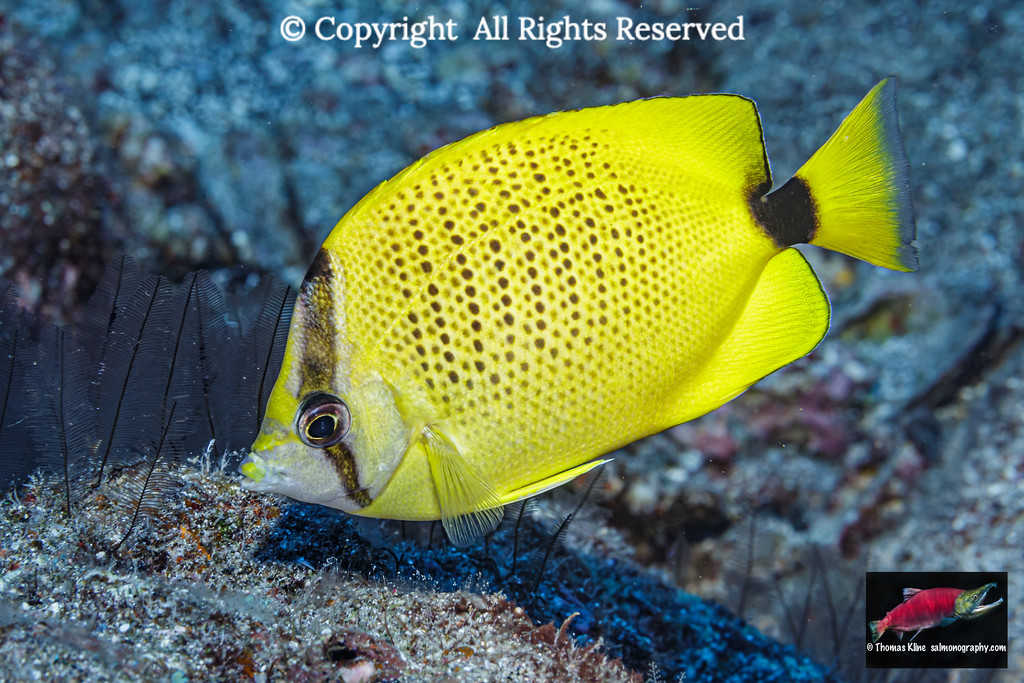 Milletseed Butterflyfish foraging