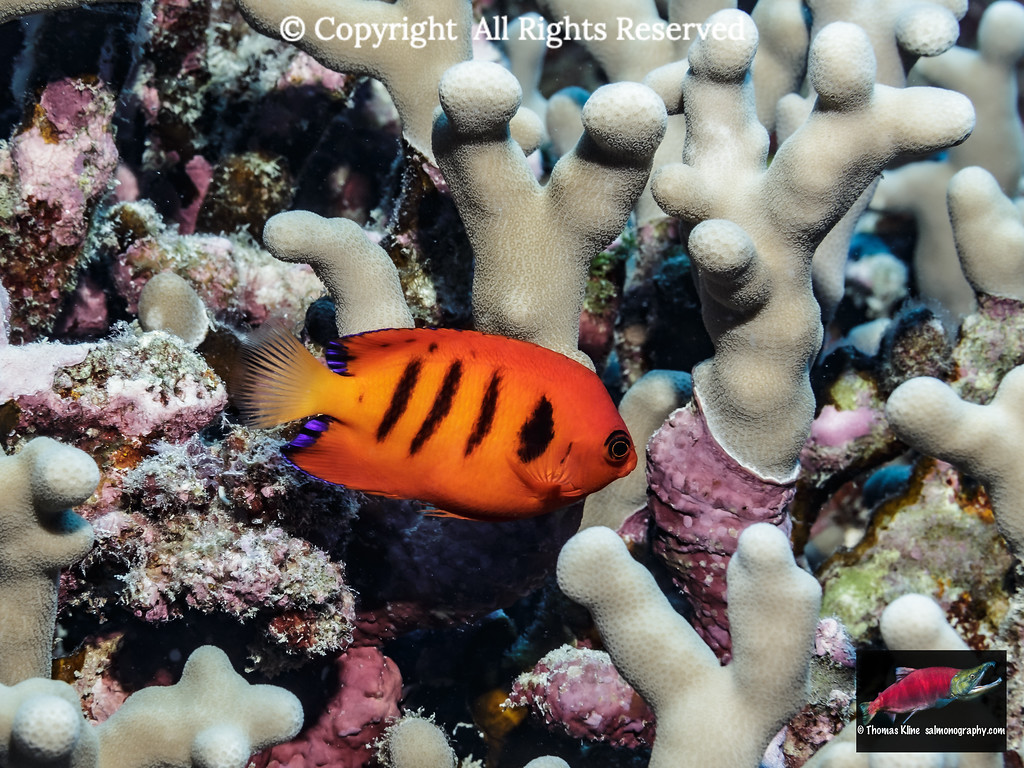 Flame Angelfish adjacent to finger coral