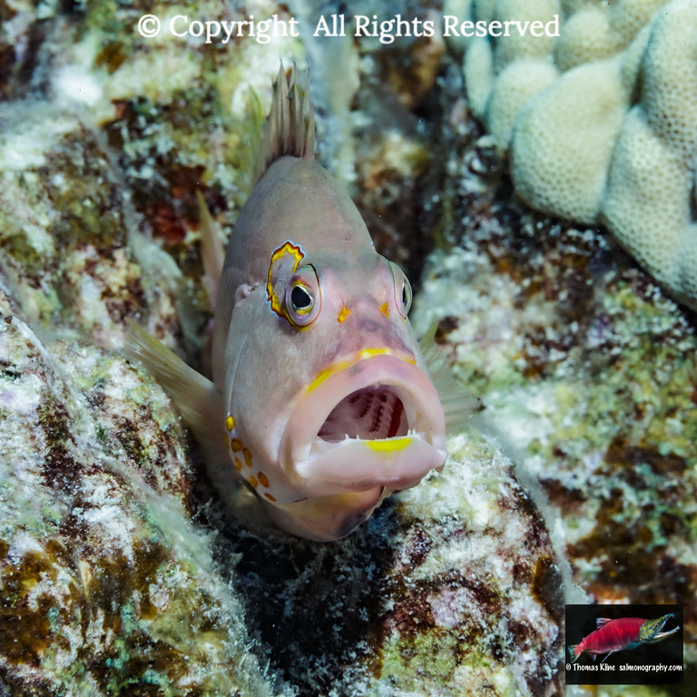 Gaping Arc-eye Hawkfish