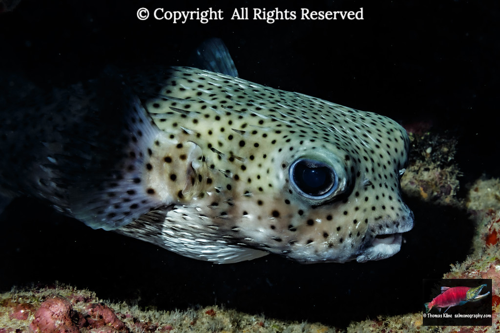 Lurking Giant Porcupinefish