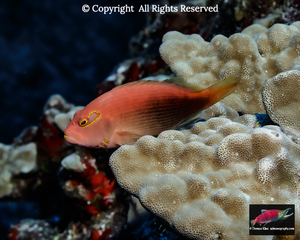 Dark pattern Arc-eye Hawkfish resting on mound coral