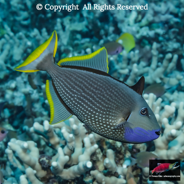 Male Bluegill Triggerfish with errect spiny dorsal fin