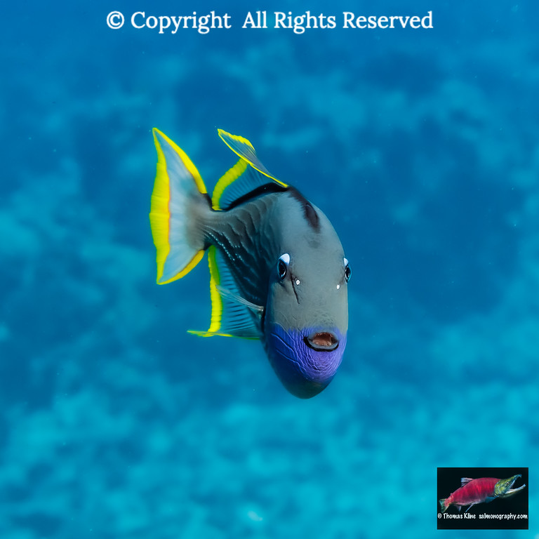 Head-on portrait of a male Bluegill Triggerfish