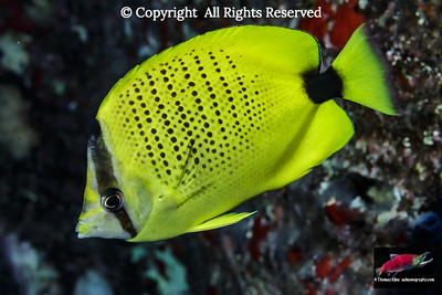 The Milletseed Butterfyfish (Chaetodon citrinellus)  is an iconic Hawaiian reef fish