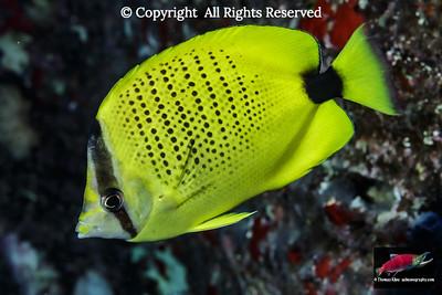 Hawaiian endemics