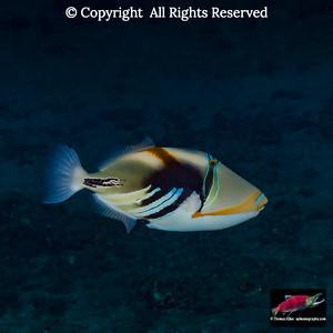 Humuhumunukunukuapuaa or Lagoon Triggerfish (Rhinecanthus aculeatus