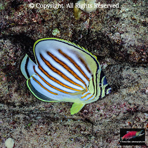 Nocturnal Ornate Butterflyfish
