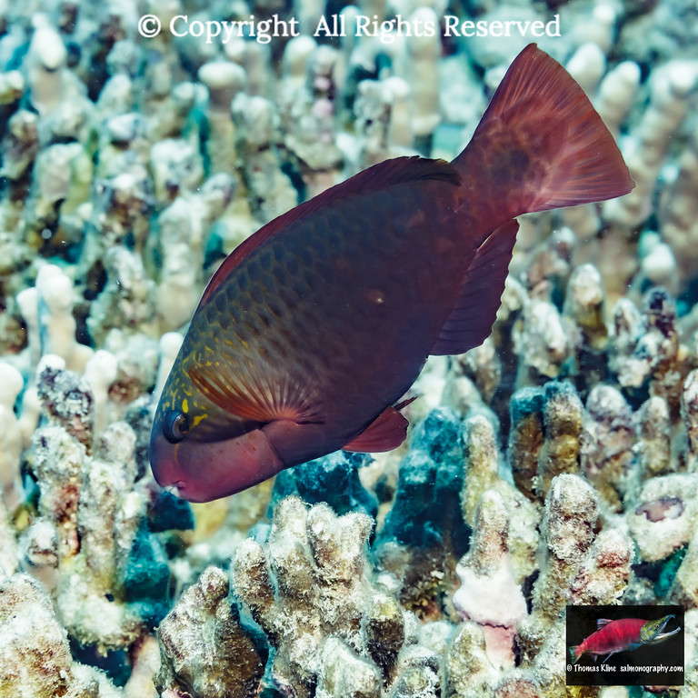 Inital phase Bullethead Parrotfish