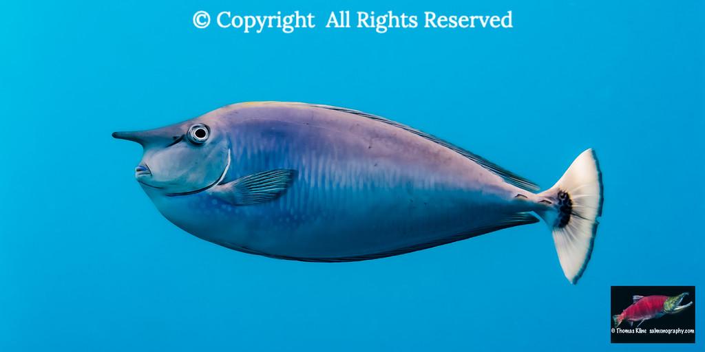 Paletail Unicornfish