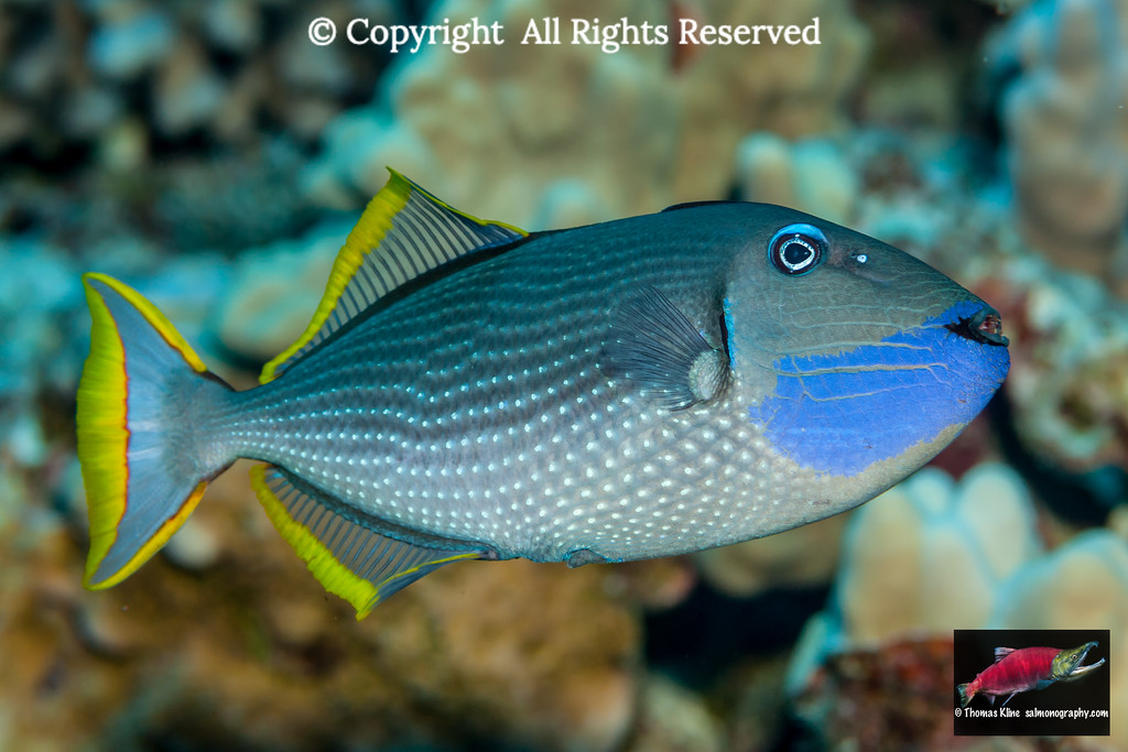 Male Bluegill Triggerfish