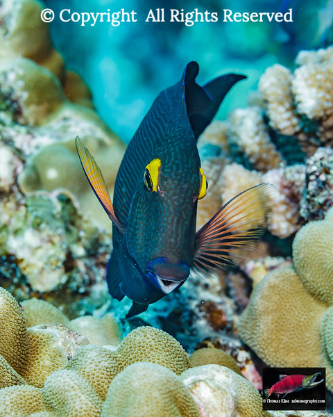 A Goldring Surgeonfish