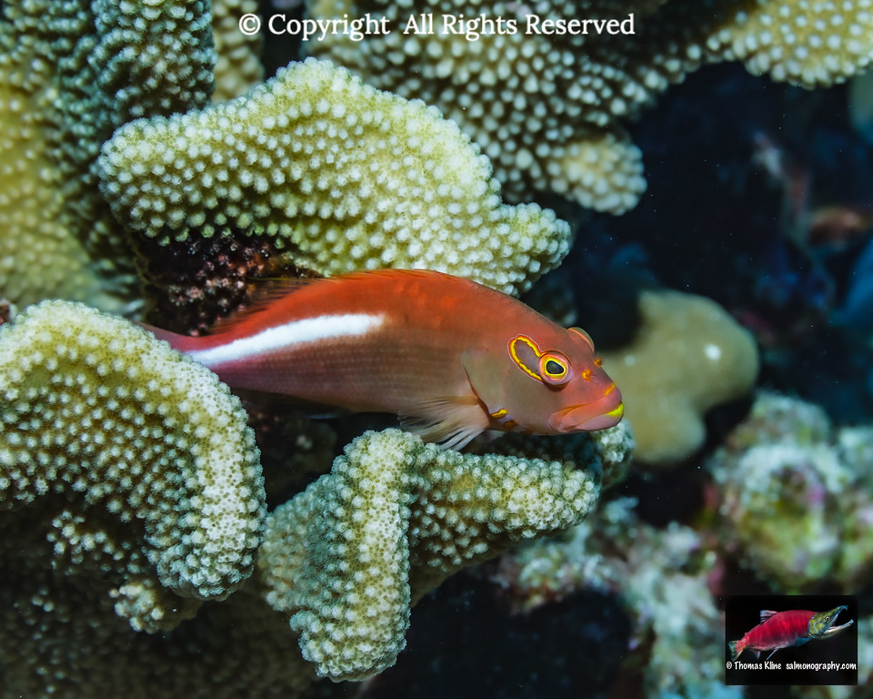 An Arc-eye Hawkfish resting on antler coal