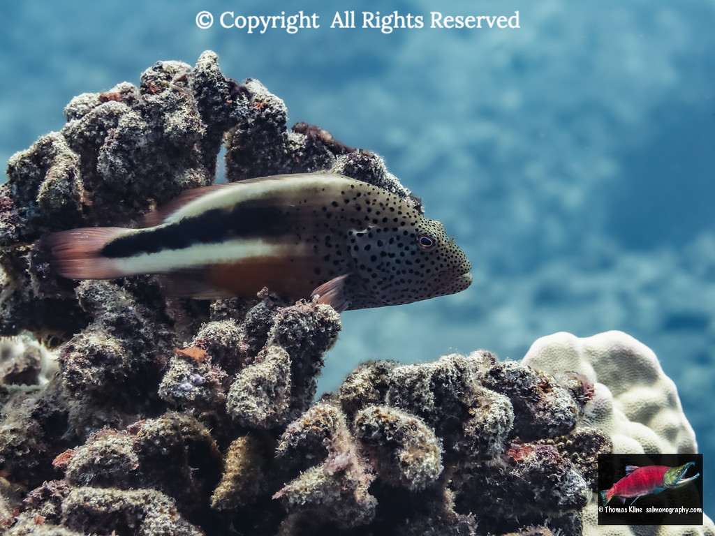 Freckled Hawkfish resting on algae-covered dead coral that was a result of coral bleaching