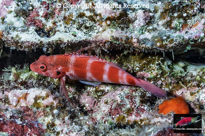 Redbarred Hawkfish resting on a coraline algae covered ledge