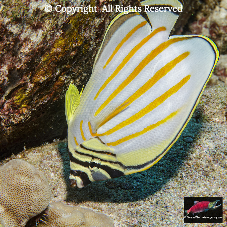 Ornate Butterflyfish feeding