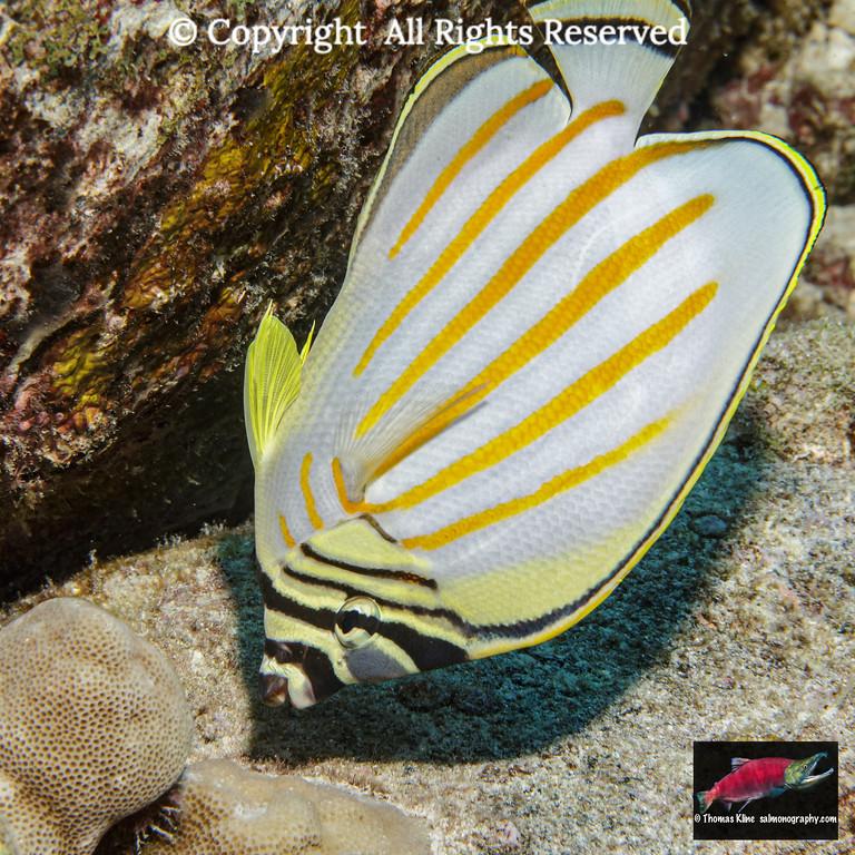 Ornate Butterflyfish feeding