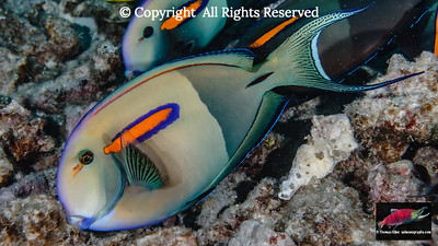 Orangeband Surgeonfish feeding on turf algae