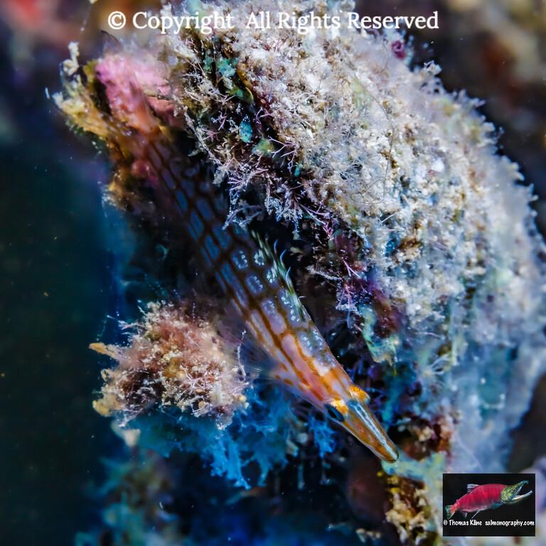 Longnose Hawkfish resting in reef encrustation.