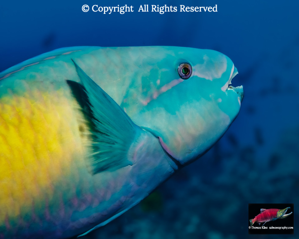 Close-up portarit of a terminal male Bullethead Parrotfish