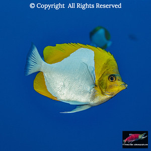A Pyramid Butterflyfish swims by