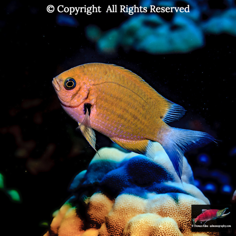 An Agile Chromis over mound coral