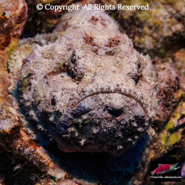 Devil Scorpionfish waiting to ambush prey