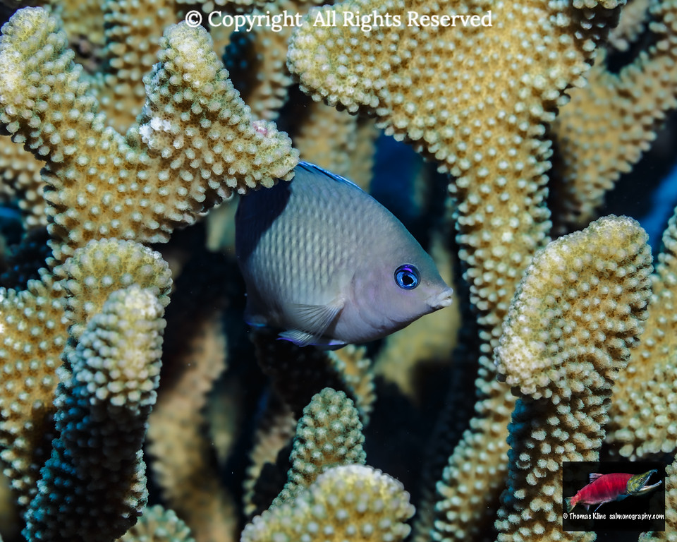 Blue-eye Damselfish hiding in antler coral