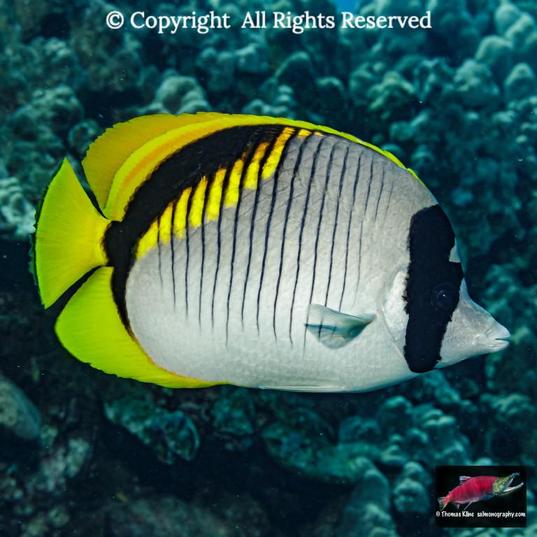 Lined Butterflyfish portrait